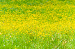 Grass with yellow flowers Stock Photography