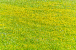 Grass with yellow flowers Stock Photos