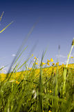 Grass with yellow flowers. Close shot of grass and yellow flowers royalty free stock photos