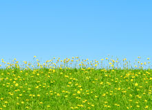 Grass and yellow flowers. On a background of blue sky Royalty Free Stock Images