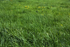 Grass and yellow flowers. Fresh green grass and yellow flowers of a meadow. Selective focus, focus on foreground Royalty Free Stock Photography
