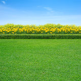 Grass and yellow flowers. Green grass and yellow flowers in garden royalty free stock photos