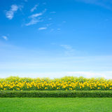 Grass and yellow flowers. Green grass and yellow flowers in garden Stock Photography