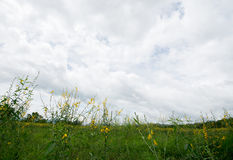 Grass and yellow hemp flower fields. In the cloudy background royalty free stock images
