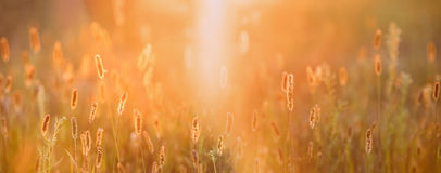 Grass In Yellow Sunlight And Bokeh, Boke Background. Later Summer. Close Up Meadow Grass In Yellow Sunlight And Bokeh, Boke Background. Later Summer Or Early royalty free stock photo