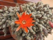 Grassa för Chamaecereus silvastripianta Royaltyfria Bilder