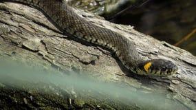 Grasschlange auf einer Anmeldung das Wasser Beringte Schlange Wasser-Schlange reptil reptilian stockbilder