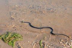 Grasschlange, europäische ungiftige Schlange im natürlichen Lebensraum stockbilder