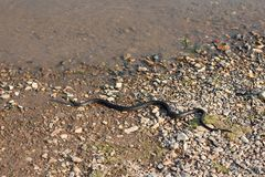 Grasschlange, europäische ungiftige Schlange im natürlichen Lebensraum stockfoto