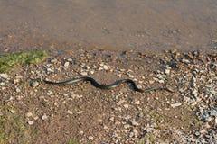 Grasschlange, europäische ungiftige Schlange im natürlichen Lebensraum stockbild