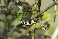 Grasschlange im Waldhintergrund/Natrix Natrix Lizenzfreies Stockbild
