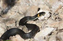 Grasschlange mit seiner Zunge, die auf dem Boden heraus kriechen hängt lizenzfreies stockfoto