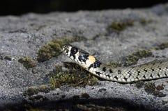 Grasschlange (Natrix Natrix) Lizenzfreie Stockfotografie
