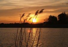 Grassen bij zonsondergang stock foto's