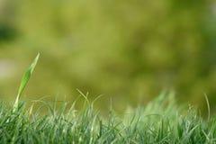 Grassen en vage achtergrond Stock Afbeeldingen