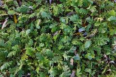 Grassen in rijp Royalty-vrije Stock Foto