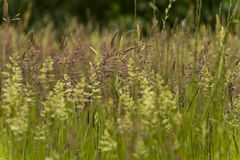 Grasses Royalty Free Stock Image
