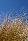 Grasses. Blowing in the wind Royalty Free Stock Photography