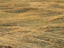 Grasses. On flood area of Rundu Stock Image