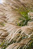 Grasses. Long white coloured grasses with green background Stock Photos