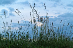 Grasses against clouded sky background Stock Image