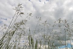 Grasses against the sky with clouds. Bottom view stock photo