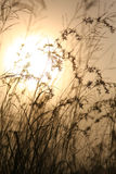 Grasses against sunlight over sky background Stock Photo