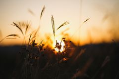 Grasses against sunlight over sky background in sunset. Herbs silhouettes stock images