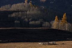 Grasses of autumn. Autumn time, Xinjiang Wo Kimura still warm and surrounded by bright yellow, but Wo Kimura side of the ranch, only pine trees on the yellow Royalty Free Stock Photos