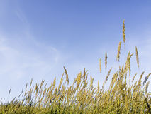 Grasses and blue sky Royalty Free Stock Images