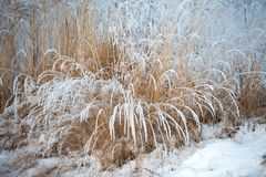 Free Grasses Covered With Fresh Snow In Winter Landscape Royalty Free Stock Image - 164948566