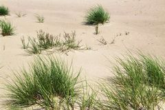 Grasses in the dunes Royalty Free Stock Image