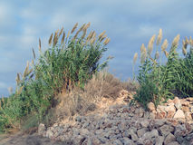 Grasses in the Dunes of Nizzanim, Israel Stock Images