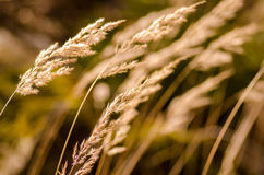 Grasses ears Royalty Free Stock Photography