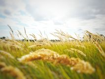 Grasses on field Royalty Free Stock Image