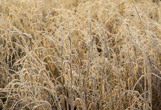 Grasses in a field covered with white frost Royalty Free Stock Photos