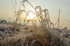 Grasses in a field covered with white frost Royalty Free Stock Photography