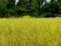 Grasses in field. Green and  yellow grasses in field next to tree line Stock Photography