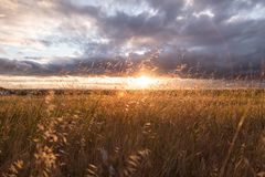 Grasses in field at sunset Royalty Free Stock Photos