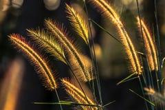 Free Grasses Flower Stock Photos - 36758843