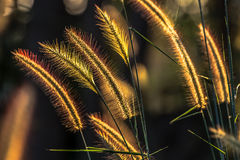Grasses flower Stock Photos