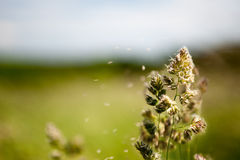 Grasses. Flowering grasses that are the cause of many allergies Stock Image