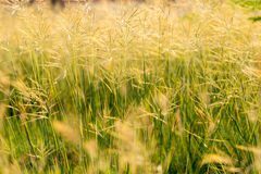 Grasses flowers field Royalty Free Stock Images