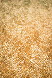 Grasses in Golden Field Royalty Free Stock Photos