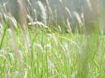 Grasses royalty free stock photo