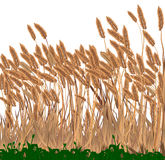 Grasses. Growing in a meadow  over white Stock Photography