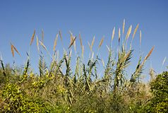 Grasses of Israel royalty free stock image