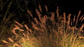 Grasses in the light move in the wind stock footage