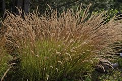 Grasses in the light, Westphalia, Germany Royalty Free Stock Image