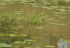 Grasses and lily pads in lake Stock Photography